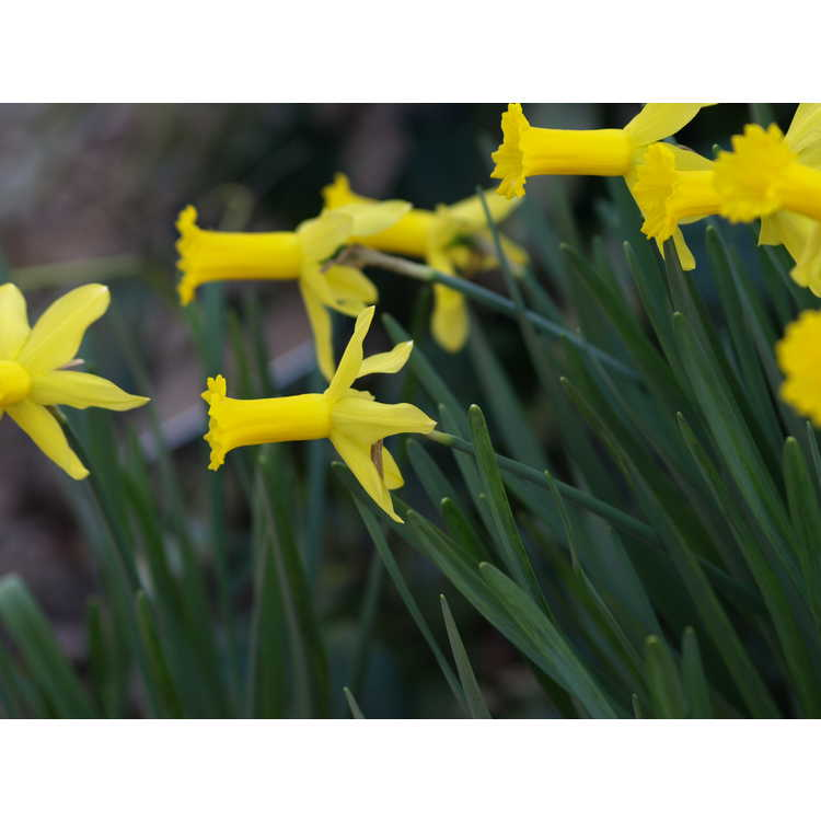 Narcissus 'Bartley'