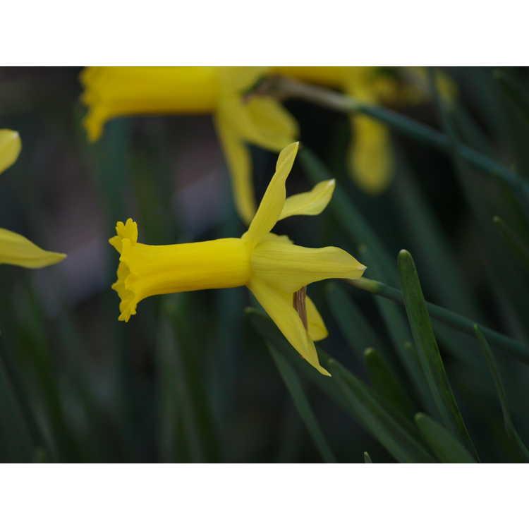 Narcissus 'Bartley' - cyclamineus daffodil