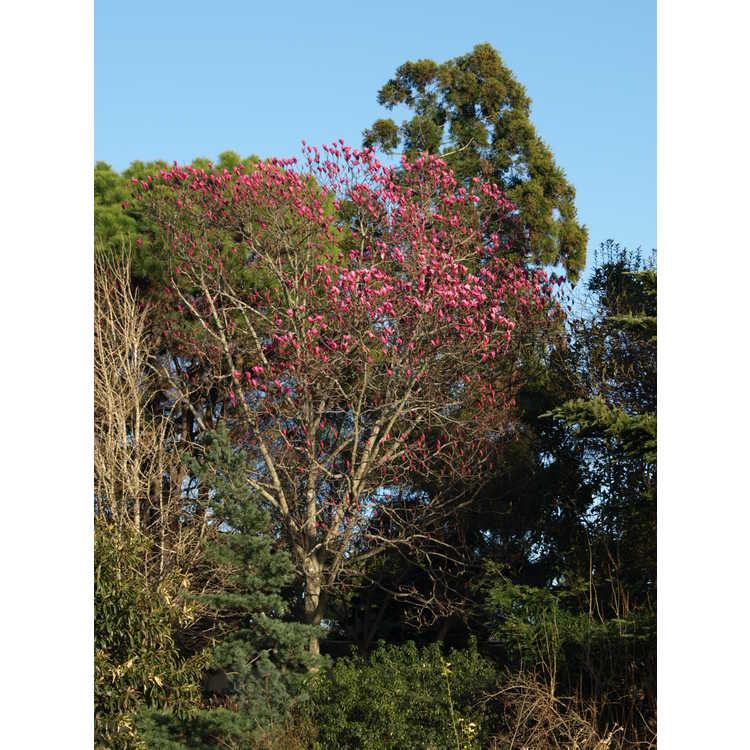 Magnolia 'Spectrum' - U.S. National Arboretum hybrid magnolia