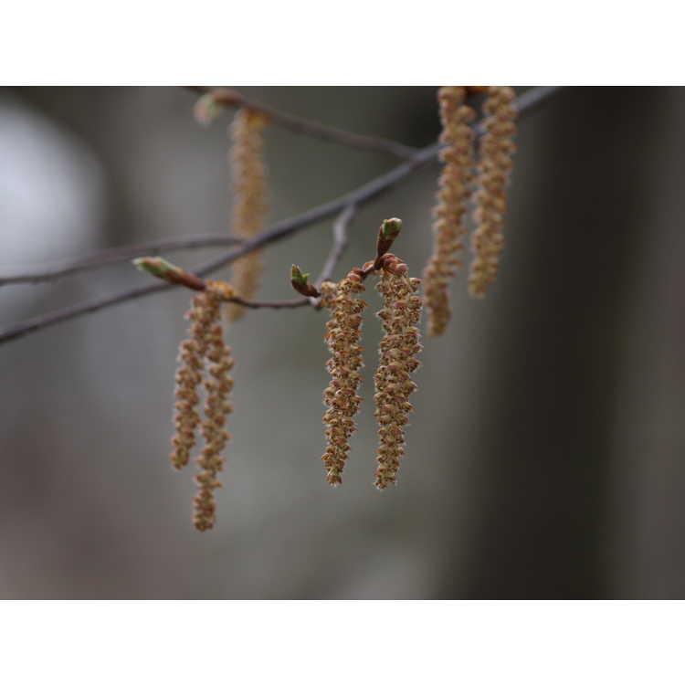 Carpinus laxiflora - loose-flower hornbeam
