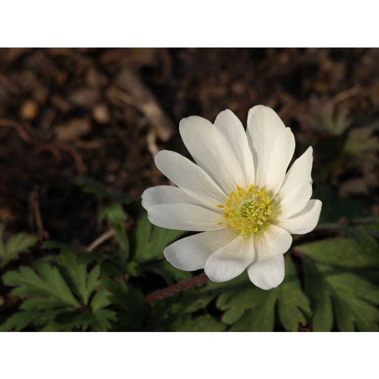 Anemone blanda 'White Splendor'
