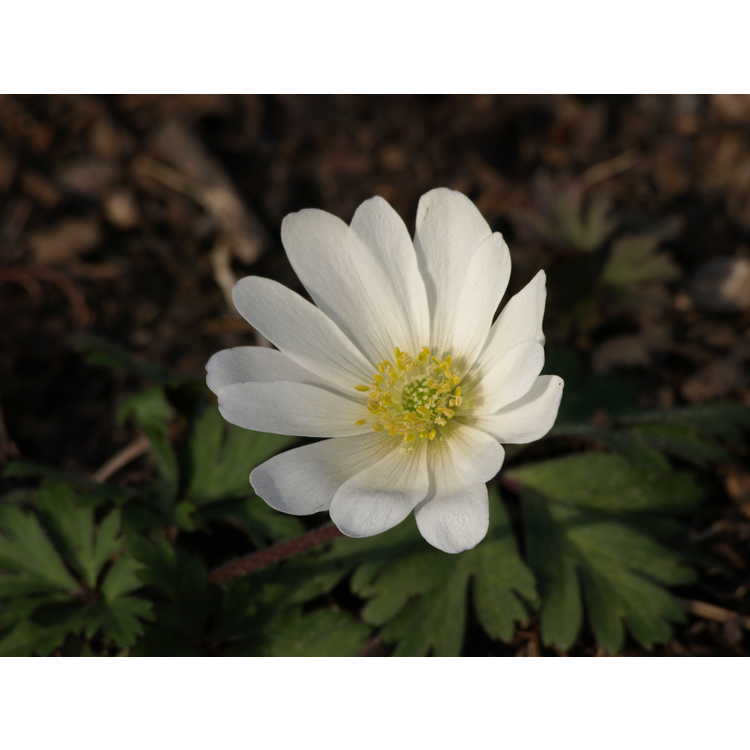 Anemone blanda White Splendor