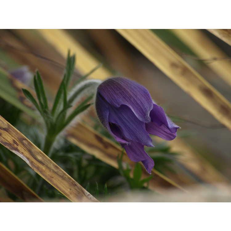 Pulsatilla halleri - Haller's pasque-flower