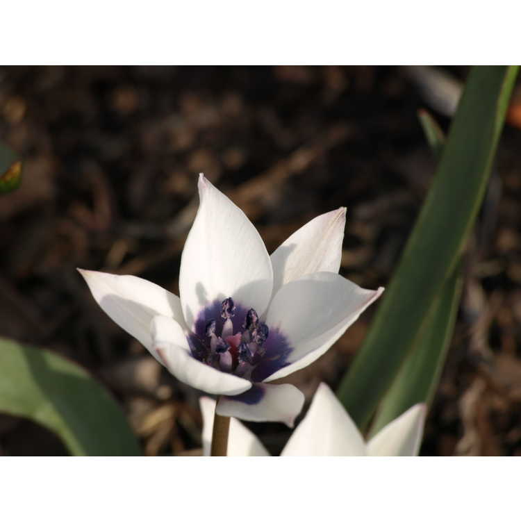 Tulipa humilis 'Alba Caerulea Oculata'