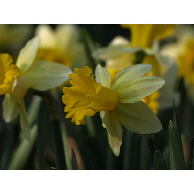 Narcissus 'Wisley'