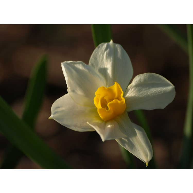 Narcissus ×macleayi
