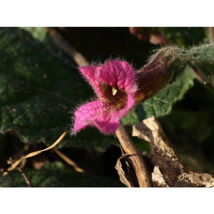 Rehmannia chingii