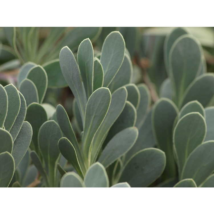 Othonna cheirifolia - barbary ragwort