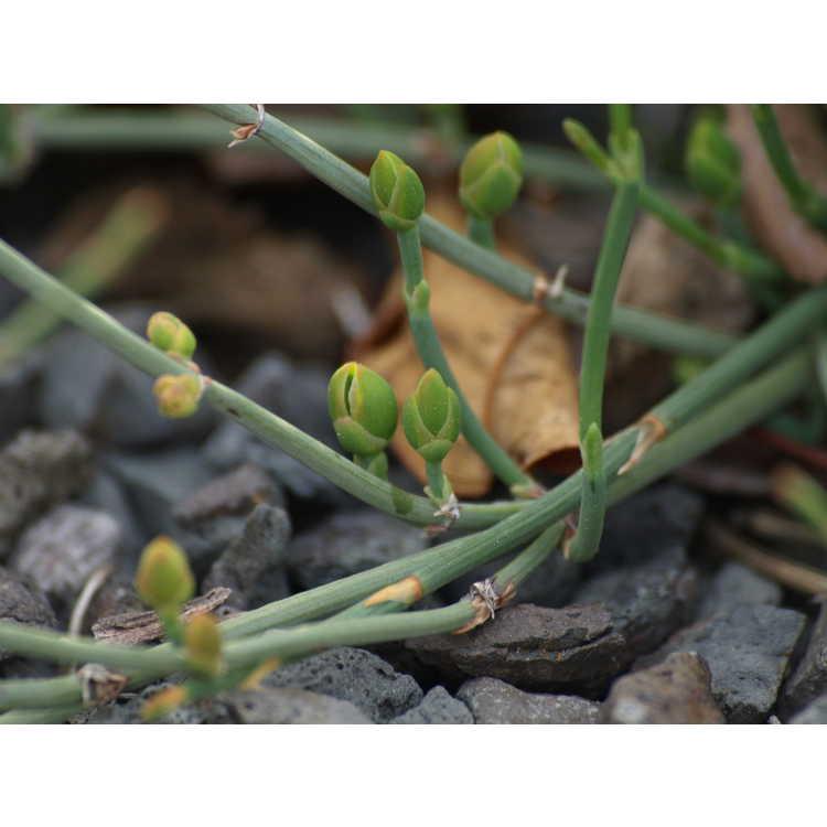 Ephedra monosperma