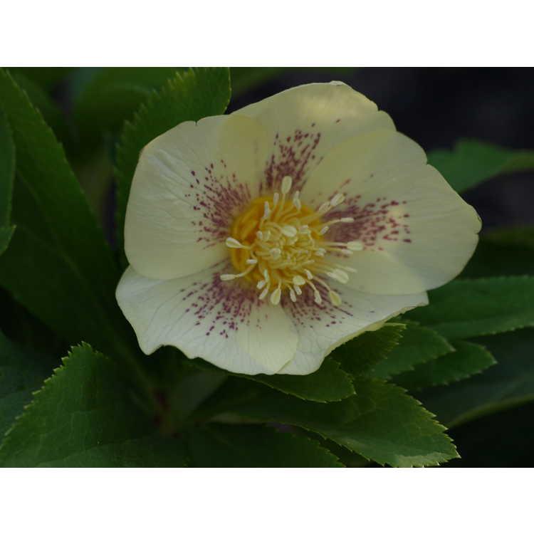 Helleborus hybridus best yellow