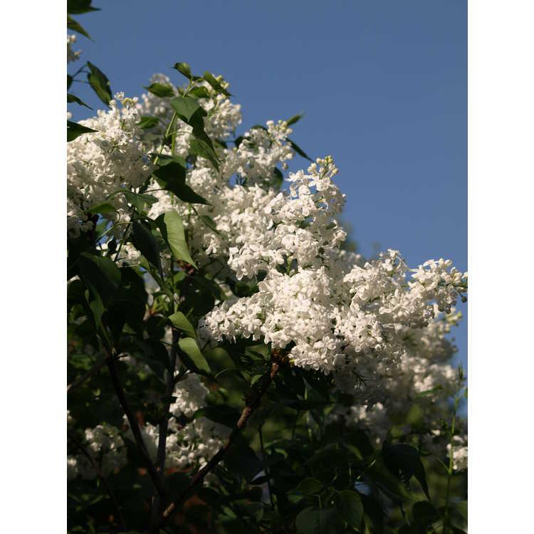 Syringa 'Betsy Ross' - hybrid lilac