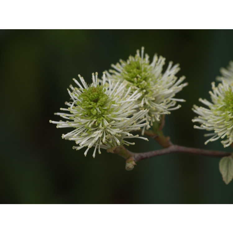 Fothergilla ×intermedia 'Klmtwo' - Beaver Creek fothergilla