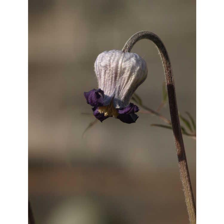 Clematis hirsutissima