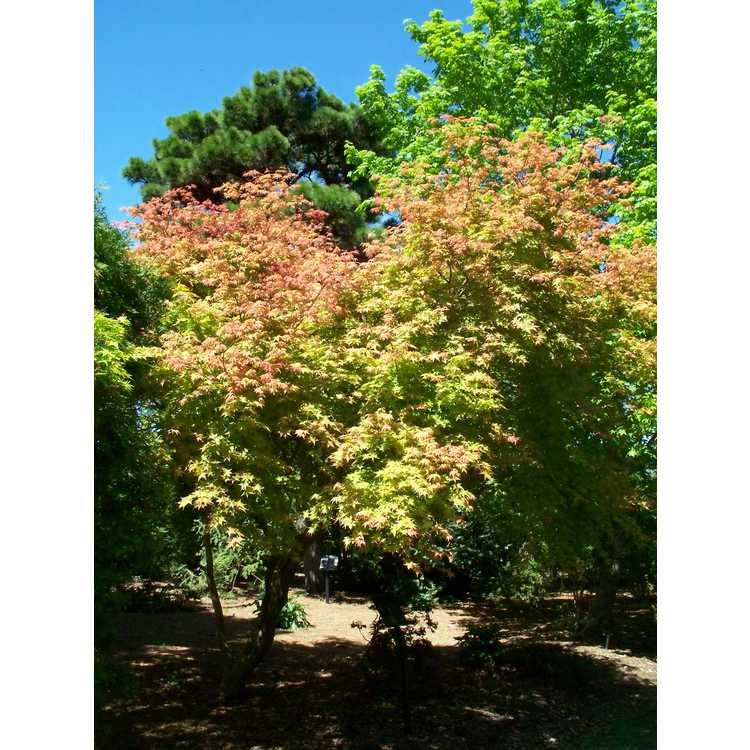 Acer palmatum 'Beni komachi'