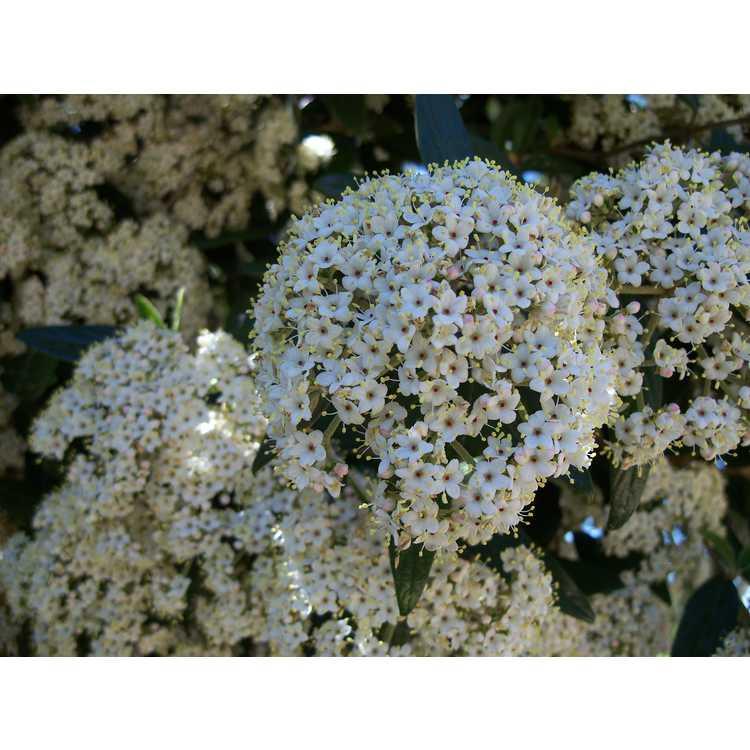 Viburnum ×pragense - Prague viburnum