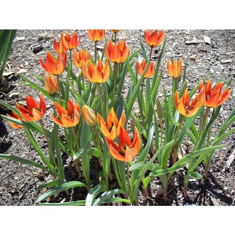 Tulipa orphanidea subsp. whittallii