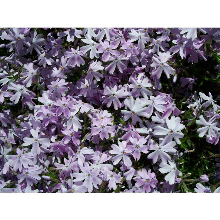 Phlox subulata Emerald Blue