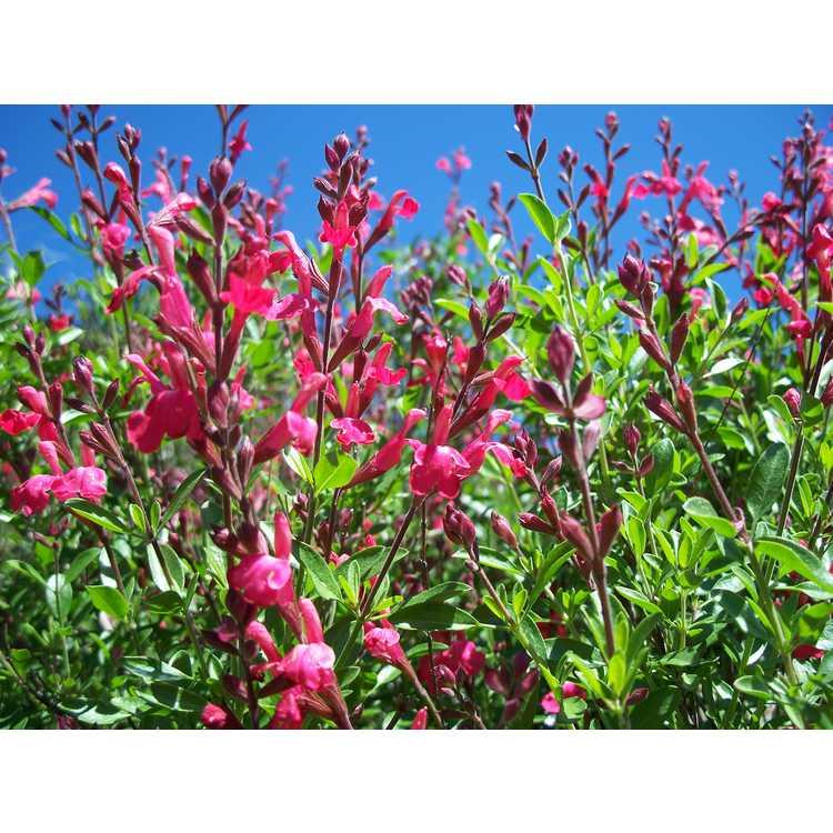 Salvia greggii Lipstick