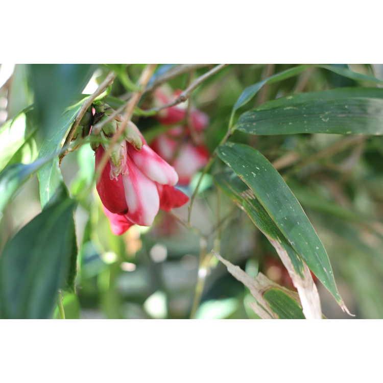 Camellia japonica 'Kujaku Tsubaki'