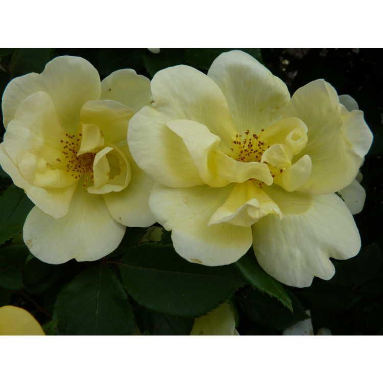 Rosa 'Radsunny' - Sunny Knock Out shrub rose