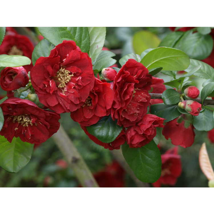 Chaenomeles 'Dragon's Blood' - Japanese flowering quince