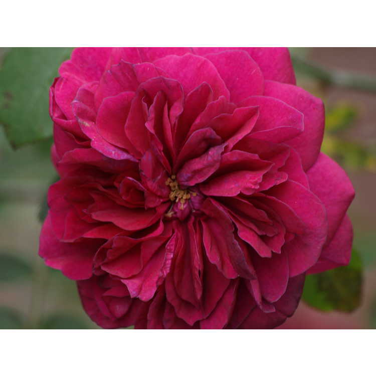 Rosa Ausdecorum Darcey Bussell