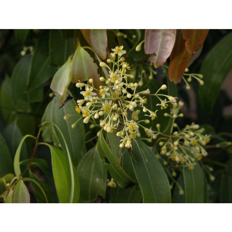 Cinnamomum jensenianum