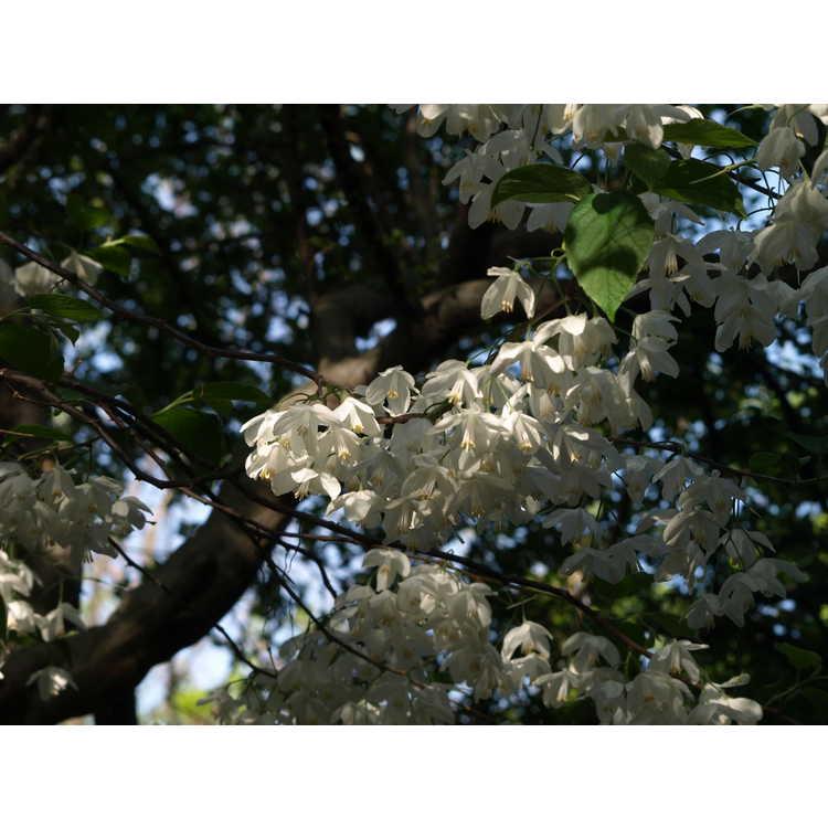 Halesia diptera var. magniflora