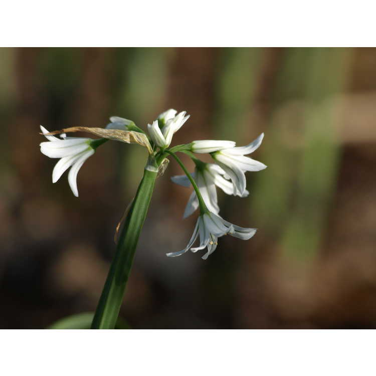 Allium triquetrum - three-cornered leek