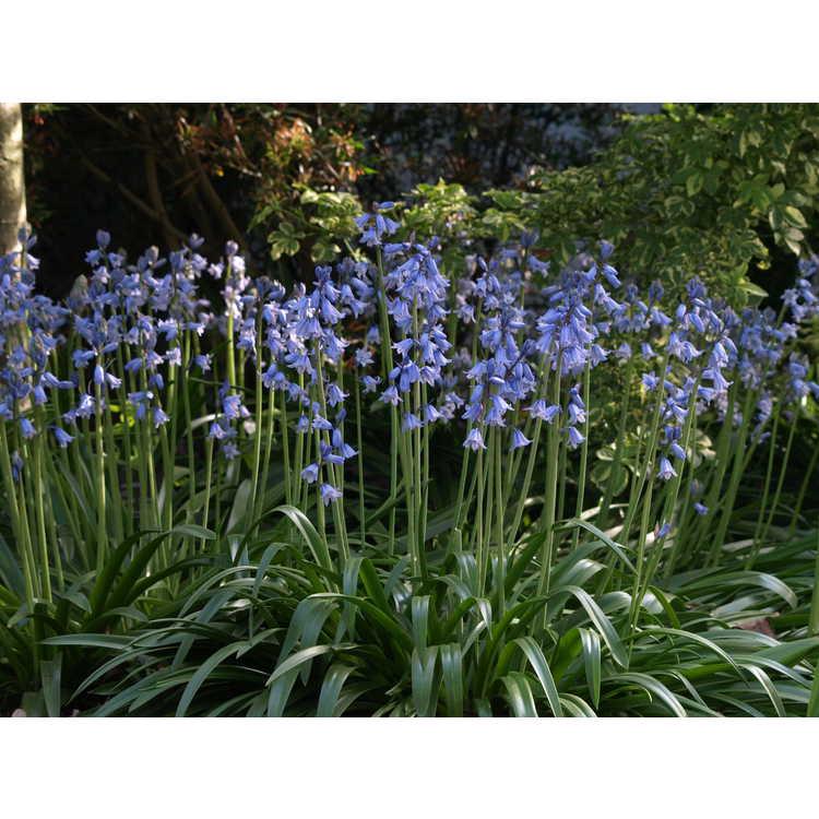 Hyacinthoides hispanica 'Excelsior' - Spanish bluebells