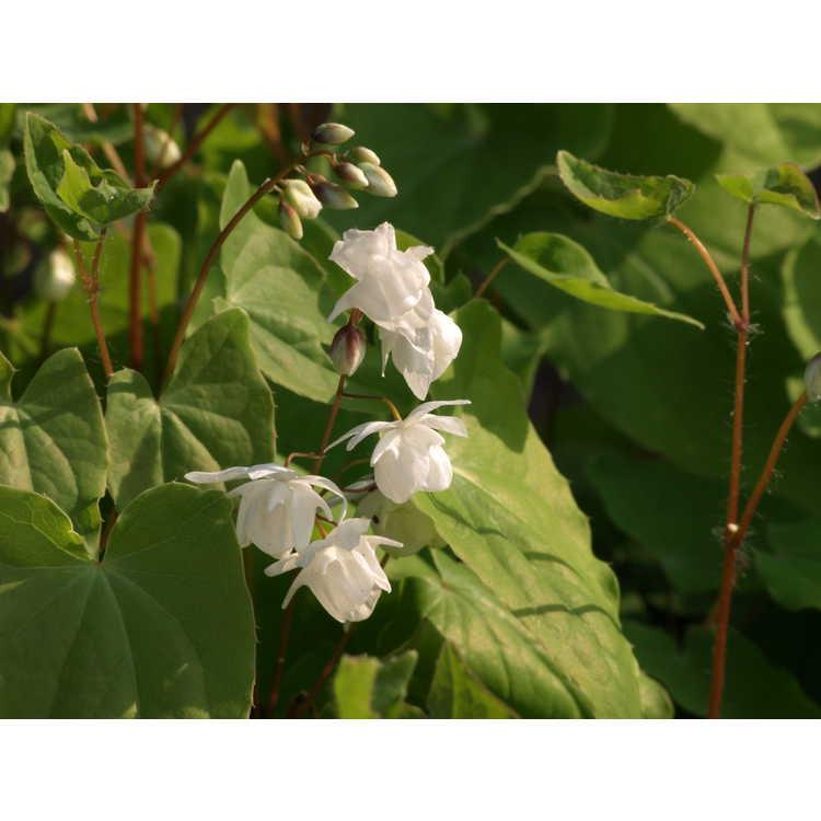 Epimedium grandiflorum 'Conalba'