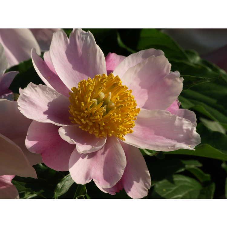 Paeonia lactiflora - peony