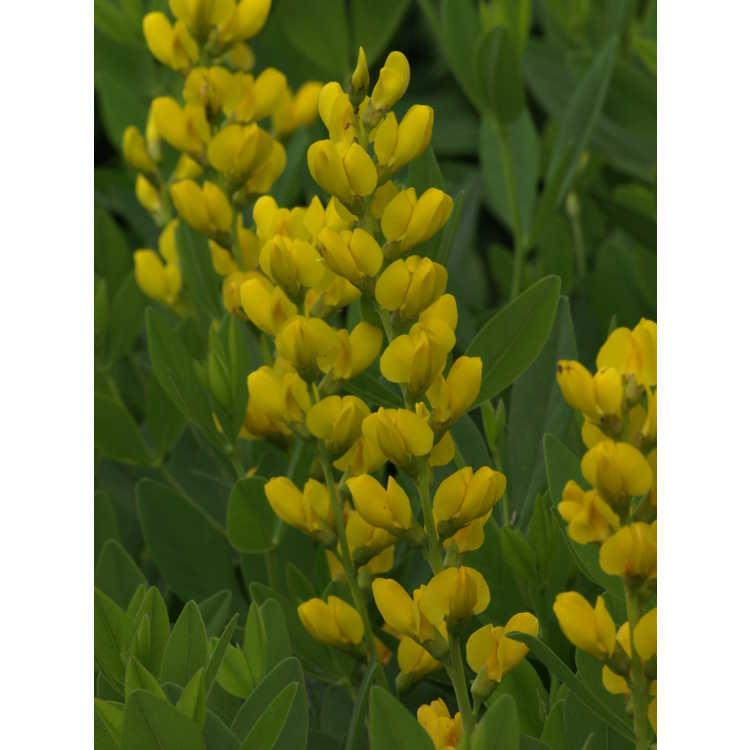 Baptisia sphaerocarpa 'Screaming Yellow' - yellow wild-indigo