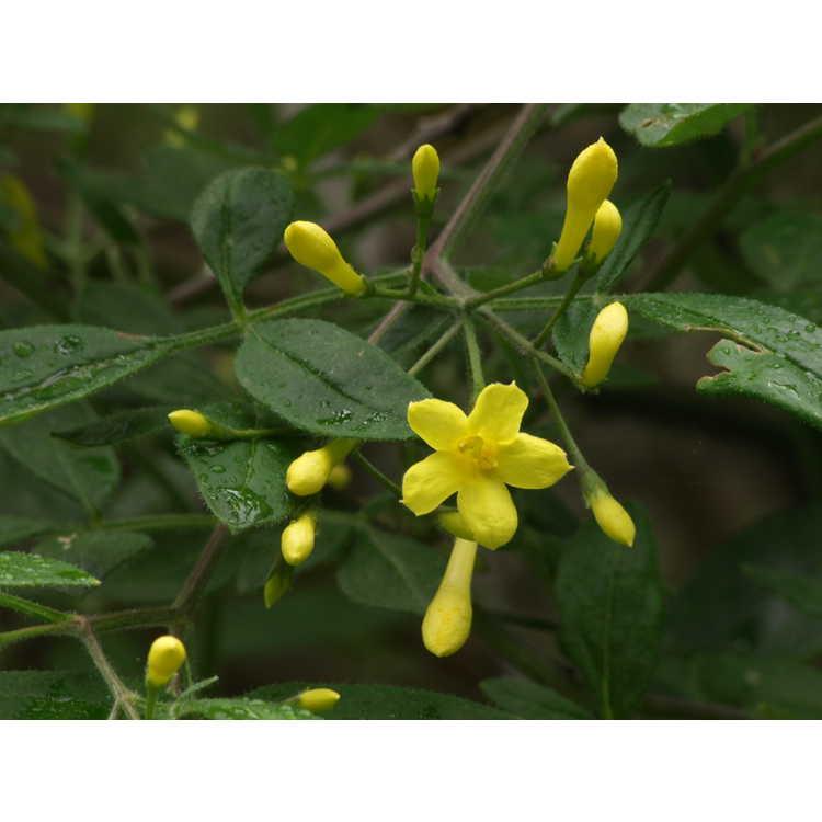 Jasminum fruticans - shrubby jasmine