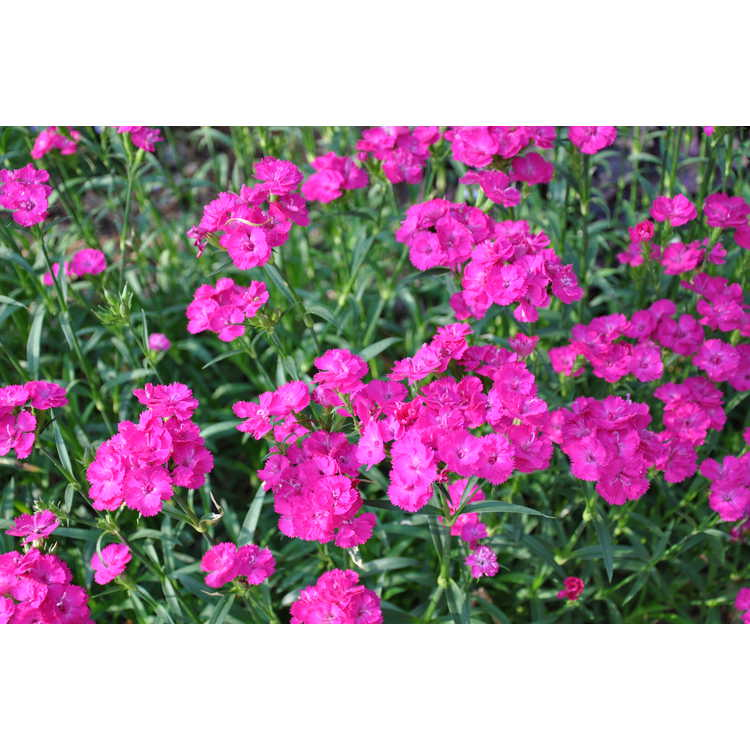 Dianthus 'Chris's Passalong'