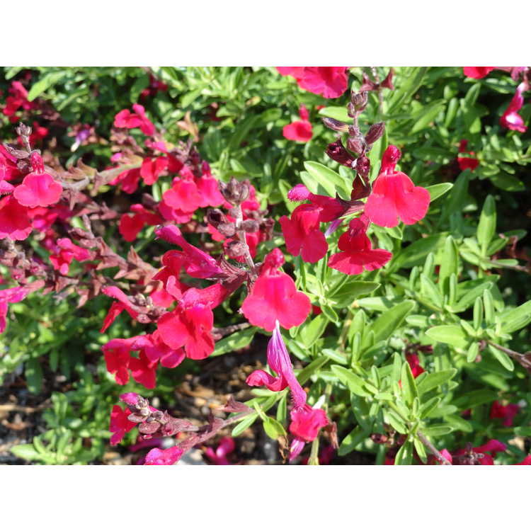 Salvia 'Red Letter'