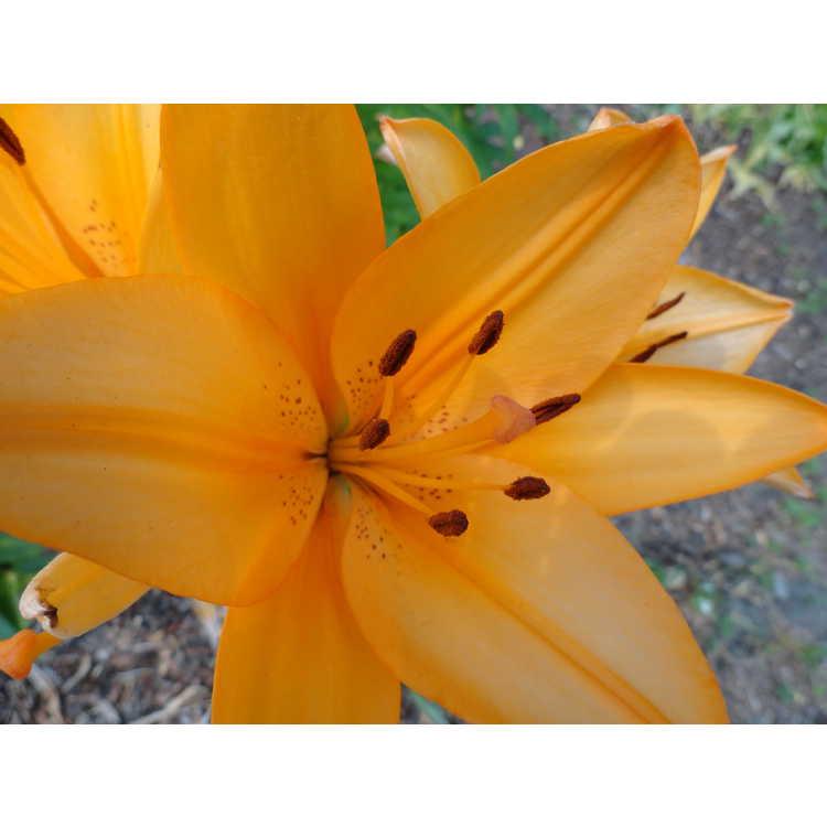 Lilium Orange Tycoon
