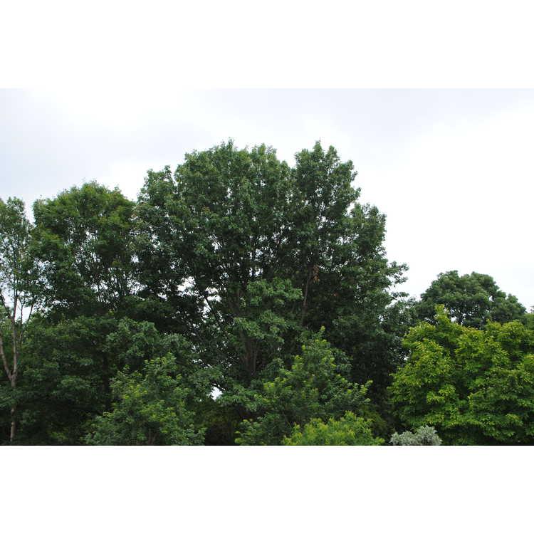 Quercus shumardii - Shumard oak