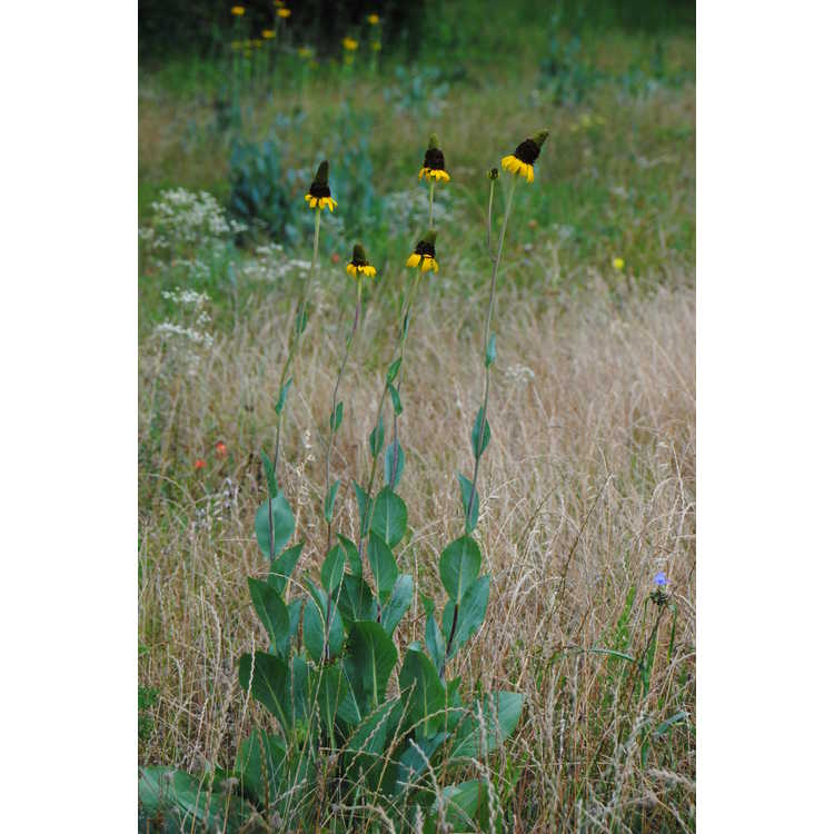 Rudbeckia maxima - great coneflower