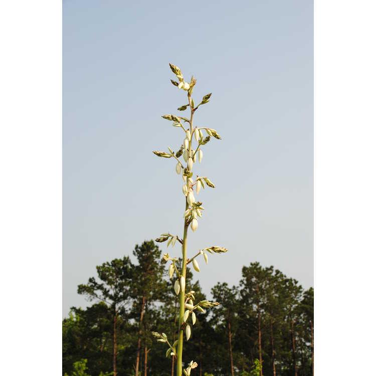 Yucca cernua