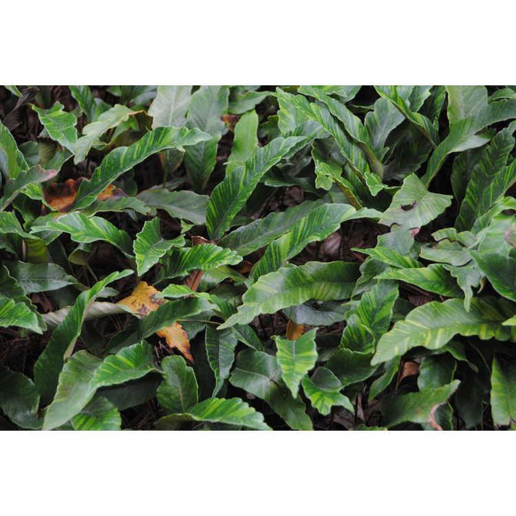 Pyrrosia lingua 'Ogon Nishiki' - variegated tongue fern