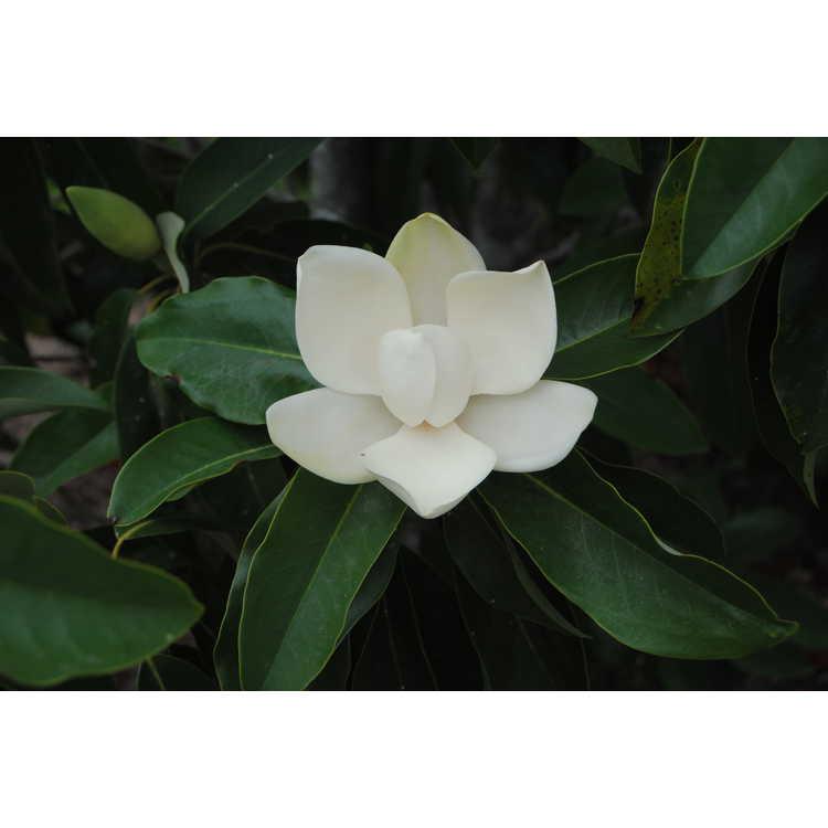 Magnolia tamaulipana - Mexican magnolia