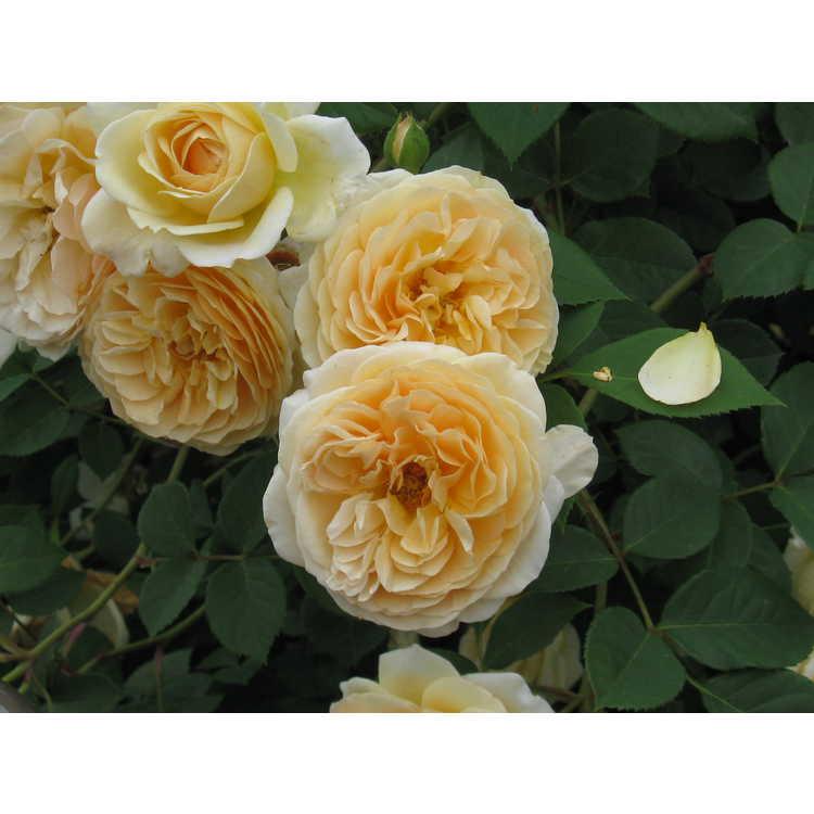 Rosa 'Ausbaker'