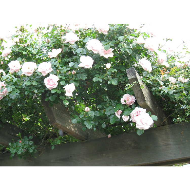 Rosa 'New Dawn' - climbing rose