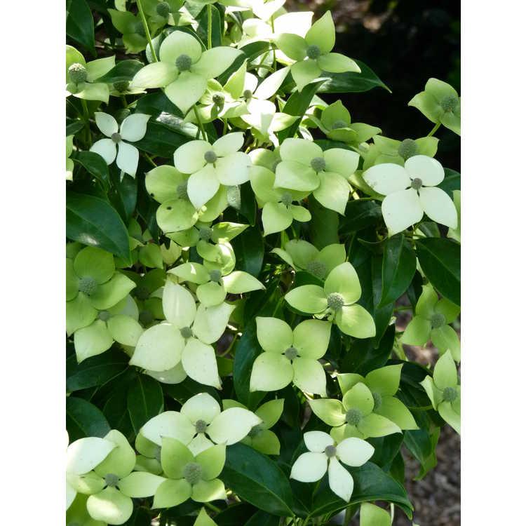 Cornus elliptica 'Elsbry' - Empress of China evergreen flowering dogwood