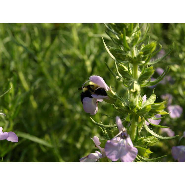 Salvia engelmannii