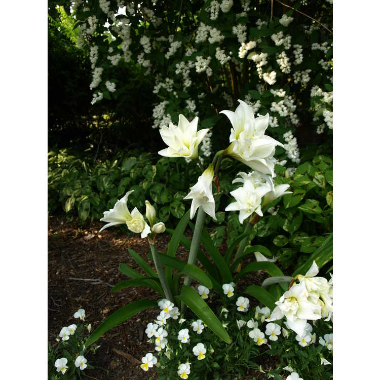 Hippeastrum - garden amaryllis