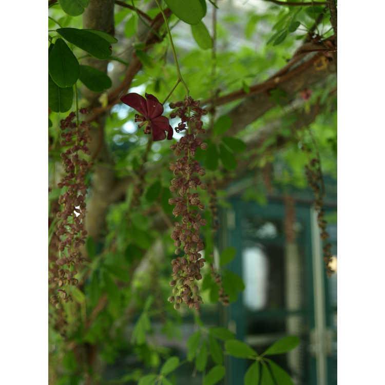 Akebia longeracemosa