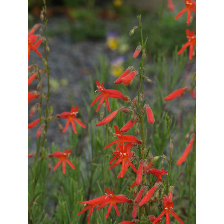 Penstemon pinifolius - pineneedle beardtongue