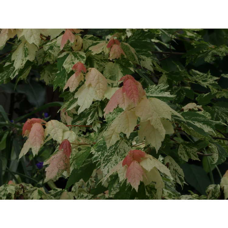 Acer rubrum 'Snow Fire' - tricolor red maple